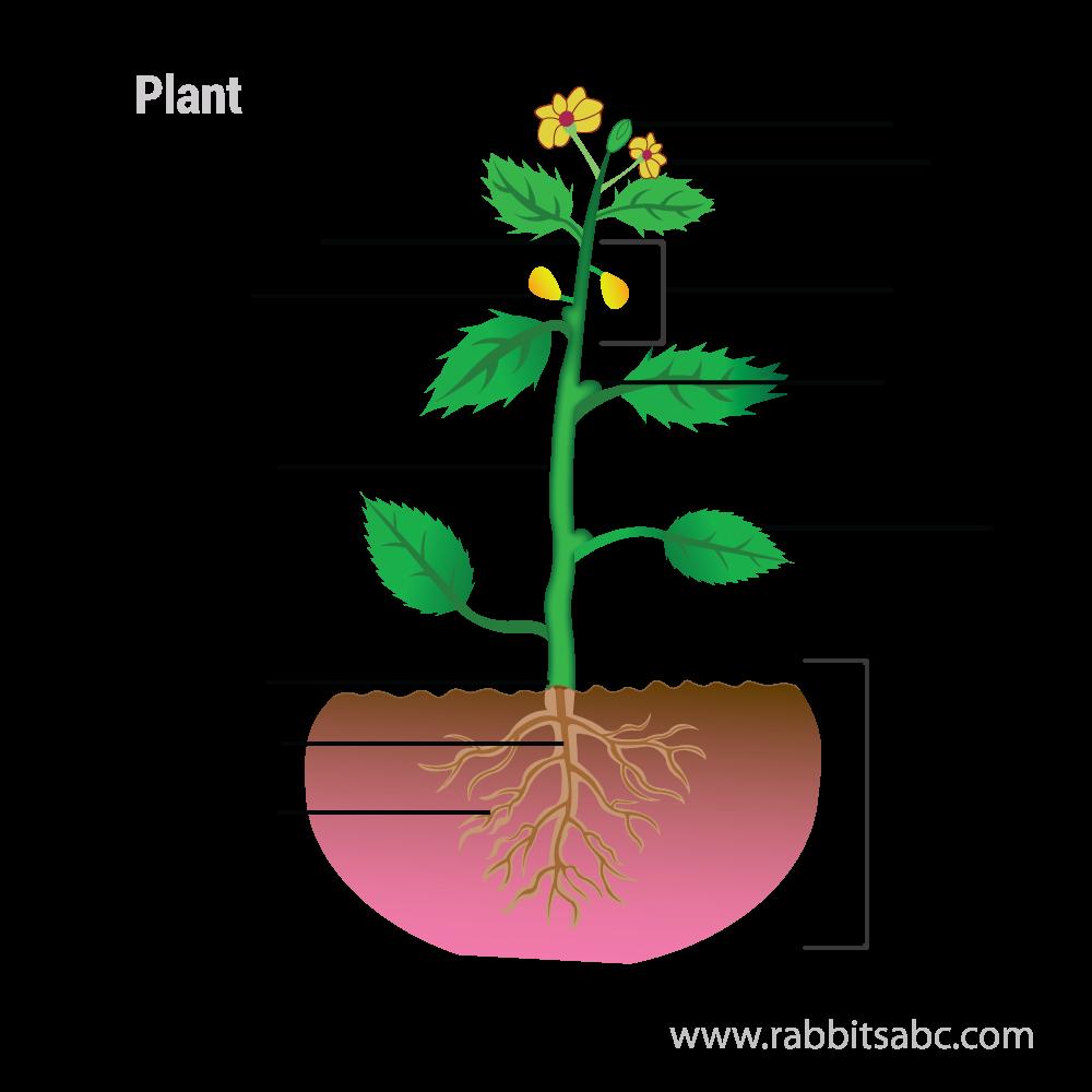 Parts of a plant - Rabbitsabc